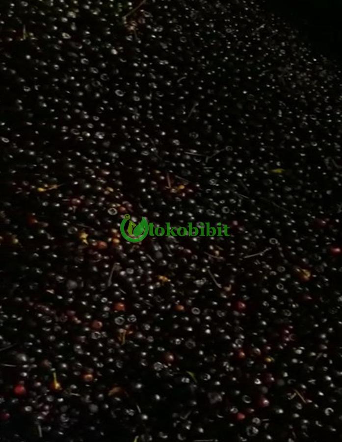 jual biji pucuk merah